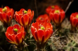 (Claret Cup Flowers)