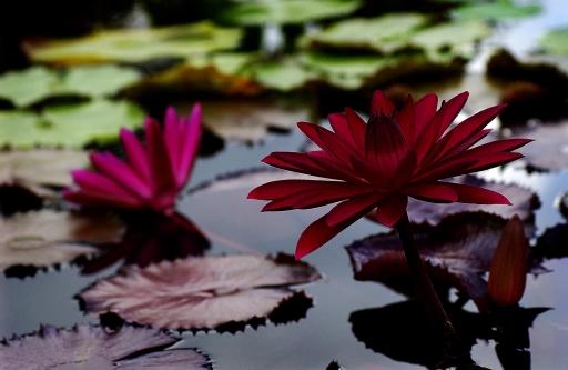 Maroon Lotus