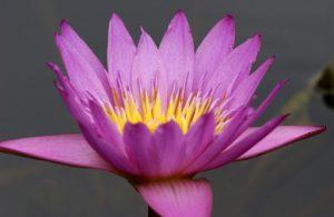 (Lotus)