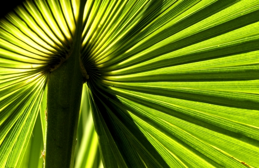 Backlit Palm Frond March 2005