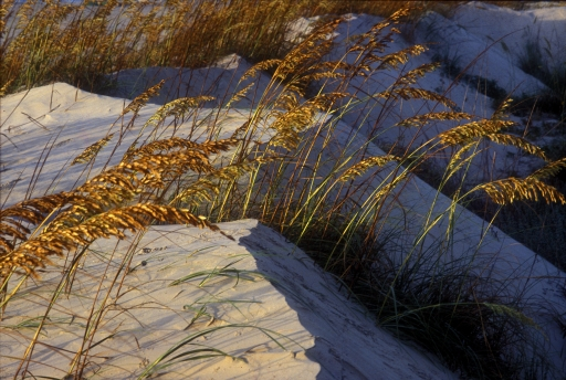 Sea Oats,  Padre Island, Texas