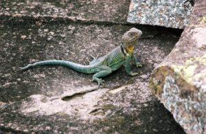 (Male Side-Blotched Lizard, Inks Lake, Texas)