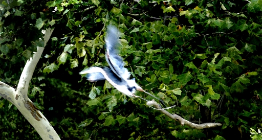 Blue Heron Taking Flight,  Cumberland River, Tennessee,  August 2005