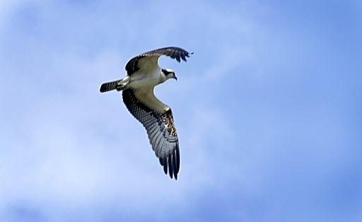 Osprey, Cumberland River, Tennessee, August 2005