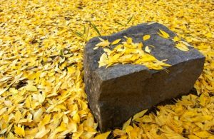 (Rock and Golden Leaves)