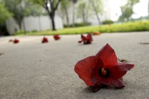 (Fallen Flower    April 2006, UTB Campus, Brownsville, TX)