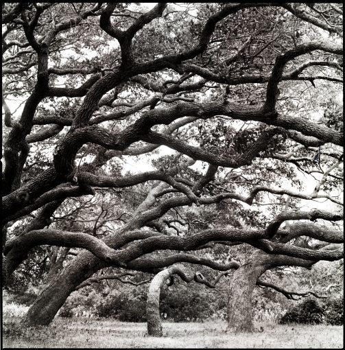 Coastal Live Oaks, Rockport, Texas…July 1990