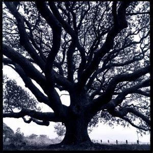 (Live Oak Tree.  Goose Island State Park, Rockport, Texas 1990)