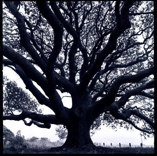 Live Oak Tree.  Goose Island State Park, Rockport, Texas 1990