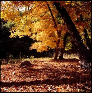 (Yellow Leaves, Lost Maples State Park, Texas. Oct 1980)